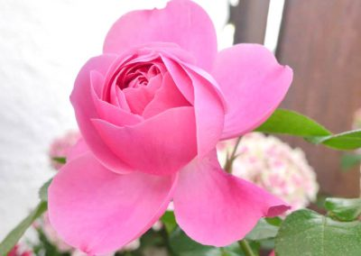 rosenfest-3